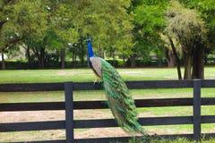 En påfågel på en lantgård i ocala Arkivbild