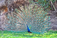 En påfågelnåd Royaltyfria Bilder