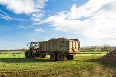 En pågående sockerbetaskörd - traktoren och släpet lastar av sockerbetor Arkivbilder