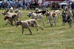 En packe av engelska foxhound Arkivfoton