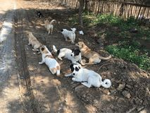 En packe av hundkapplöpning i en lantgård i Peking Kina Arkivbilder
