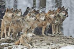 En packe av varger Arkivfoto