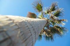 En palmträd i Tenerife, Spanien arkivbild
