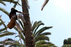 En palmträdarbetare klättrar upp en palmträd Royaltyfri Foto