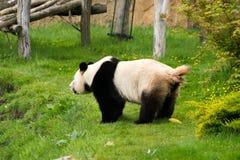 En panda defekerar på gräs Royaltyfria Bilder