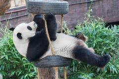 En panda som spelar med hennes leksak Royaltyfri Bild