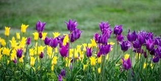En panorama av lila- och gulingtulpan ljusnar upp en vårträdgård royaltyfria foton
