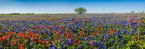 En panoramautsikt av ett härligt fält av Texas Wildflowers Arkivbild