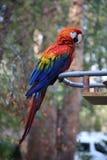 En papegoja Fotografering för Bildbyråer