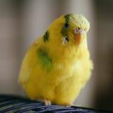 En papegoja Royaltyfri Bild