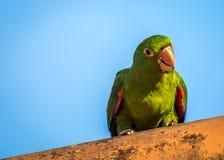 En papegoja på taket royaltyfri foto