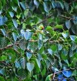 En papegoja som sitter på en brach av banyanträdet som vilar, når att ha flugit arkivfoto