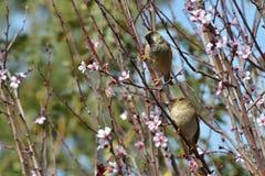Para av sparrows Arkivfoto