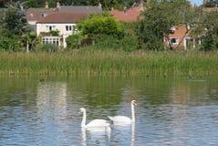 En para av swans Arkivbild