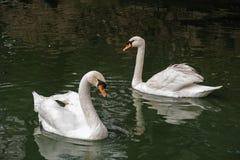 En para av swans Royaltyfri Foto