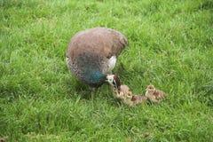 En peafowl med ungar Arkivfoto