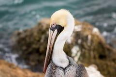 En pelikanprofil Arkivbilder