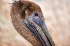 En pelikanprofil Royaltyfri Bild
