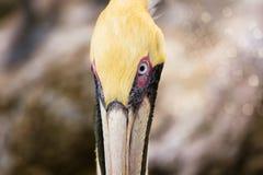 En pelikanprofil Royaltyfri Foto