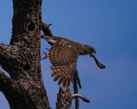 En Peregrine Falcon Heading Off On ett affärsföretag arkivfoton