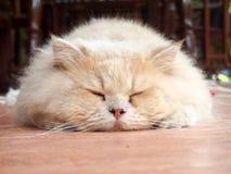 En persisk katt Fotografering för Bildbyråer