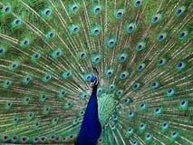 en påfågel Fotografering för Bildbyråer
