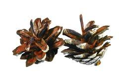 En pinecone Arkivbild