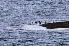 En pingvin med en kö av dykning arkivfoto