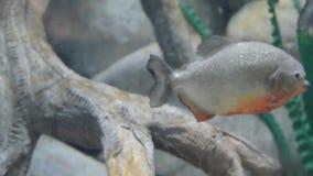 En piranhasimning i det sötvattens- akvariet lager videofilmer