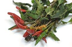 En planta av chili som sätts för att torka 010 Royaltyfri Bild