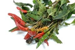 En planta av chili som sätts för att torka 011 Royaltyfri Bild