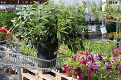 En planta av rhododendron i plast- kruka Fotografering för Bildbyråer