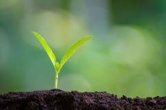 En plantant la jeune usine de jeunes plantes pendant le matin allumez sur le fond de nature images libres de droits