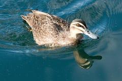 En plaska Duck Swimming med vattenreflexioner Fotografering för Bildbyråer