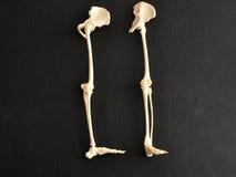 En plast- modell av ett mänskligt skelett lägger benen på ryggen Royaltyfri Bild