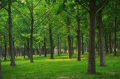 En plats av Ginkgoträd i PekingOS:en Forest Park Royaltyfri Fotografi