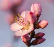 En pleine floraison dans la fleur de pêche Images stock