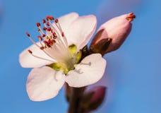 En pleine floraison dans la fleur de pêche Photographie stock libre de droits