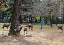 En pojke och deers i Nara Park Kall i Japan Fotografering för Bildbyråer
