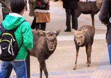 En pojke och deers i Nara Park Kall i Japan Arkivbilder