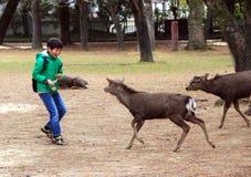 En pojke och deers i Nara Park Kall i Japan Royaltyfri Foto