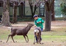 En pojke och deers i Nara Park Kall i Japan Royaltyfria Bilder