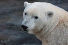 En polar björn i en ZOO. Arkivfoton