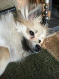 En Pomeranian hund som beskådar liv Royaltyfri Foto