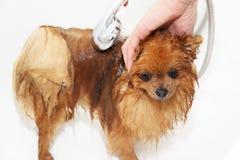 En pomeranian hund som tar en dusch med tvål och vatten Förfölja på vitbakgrund Hund i bad Royaltyfria Foton