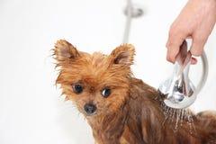 En pomeranian hund som tar en dusch med tvål och vatten Förfölja på vitbakgrund Hund i bad Royaltyfri Foto