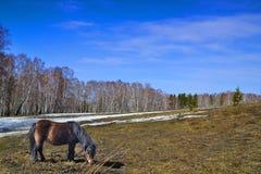 En ponny som betar på vårängen Royaltyfri Bild