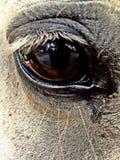 En ponnys öga Arkivfoto