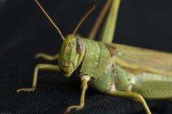 En potrait av en gräshoppa royaltyfria foton