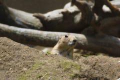 En präriehund i en zoo arkivbilder